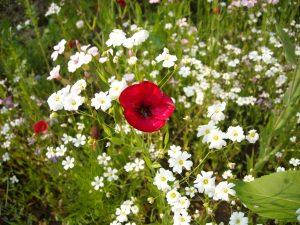 Eine Mohnblüte inmitten Margeriten - Dankeschönbild für hilfsbereite Bibliothekarinnen und Bibliothekare