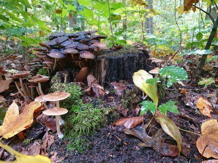 Pilze Baumstunpf und Herbstlaub, Herbstidyll als Zeichen für draußen sein